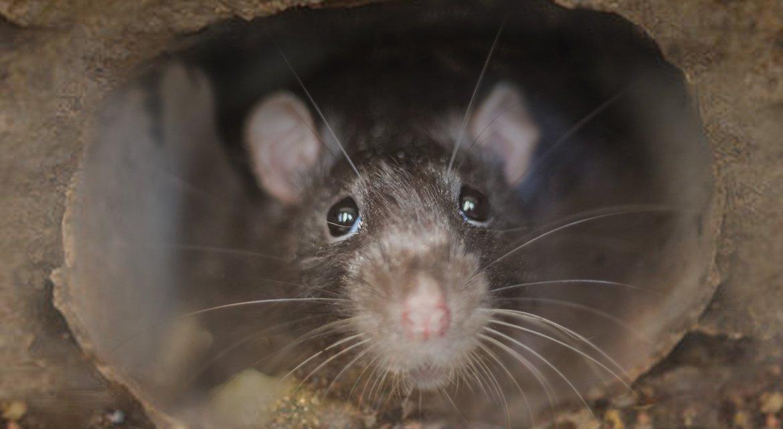 Can Rats Climb Inside Drain Pipes