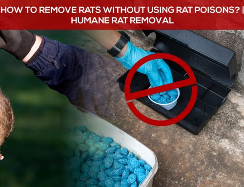 How To Remove Rats Without Using Rat Poisons? | Humane Rat Removal