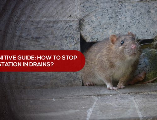 The Definitive Guide: How to stop rat infestation in drains?