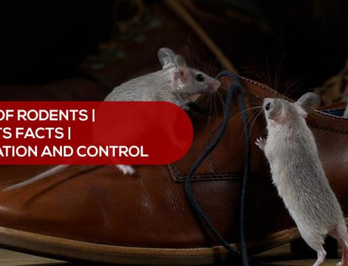 Types of Rodents | Rodents Facts | Rodent Infestation and Control