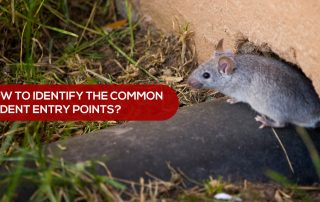 common rodent entry points