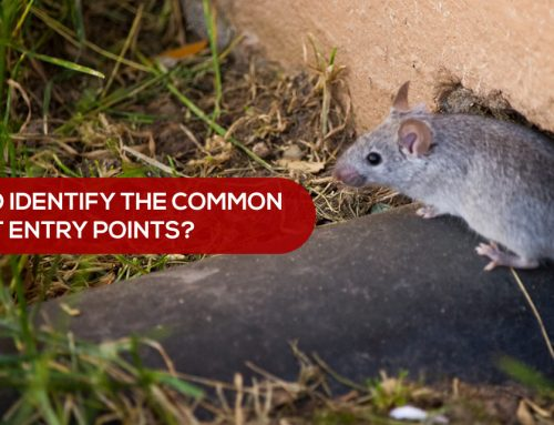 How to identify the common rodent entry points?